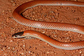 Serpent moine (Parasuta monachus), Edaggee Rest Area, Carnarvon, WA, Australie