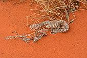 Mue de serpent élapidé sur dune, Mount Conner, Centre Rouge, NT, Australie