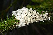 Snow wreath (Woollsia pungens), Sydney Manly, NGS, Australia