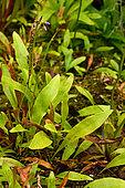Bladderwort (Utricularia longifolia), Sydney Botanical Garden, NGS, Australia