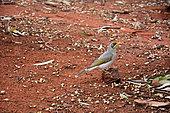 Yellow-throated Miner (Manorina flavigula), Yulara, Red Center, NT, Australia