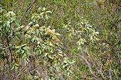 White-plumed honeyeater (Ptilotula penicillata), Kata Tjuta, Red Center, NT, Australia