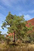 Desert bloodwood (Corymbia terminalis), Uluru, Red Center, NT, Australia