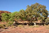 River red gum Eucalyptus (Eucalyptus camaldulensis), King Canyons, NT, Australia