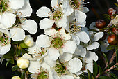 Tantoon (Leptospermum polygalifolium), Sydney, Manly, NGS, Australia