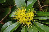 Golden penda (Xanthostemon chrysanthus), Sydney botanic garden, Australia