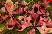 Purple pitcherplant (Sarracenia purpurea), Sydney botanic garden, NSW, Australia
