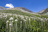 Flowerbed of Rimmed lichen (Asphodelus Albus), valley of the hamlet of Valfroide in the massif of Oisans with La Meije (3983m) in the background, Ecrins National Park, Hautes-Alpes, France