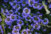 Cushion fanflower (Scaevola crassifolia), Perth, WA, Australia