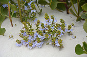 Cushion fanflower (Scaevola crassifolia), Nambung National Park, WA, Australia