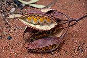 Seeds on red soil, Yulara, Red Center, NT, Australia