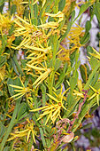 Red Striped Yellow Tailflower (Anthocercis ilicifolia), Nambung National Park, WA, Australie