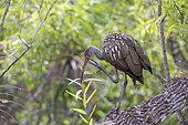Limkin (Aramus guarauna) in the Everglades Swamp, Florida, USA