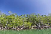 Mangrove, Florida, USA