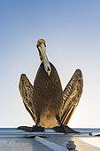 Brown pelican 5Pelecanus occidentalis), Key West, Florida, USA