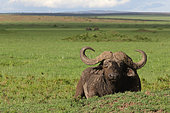 African Buffalo (Syncerus caffer) at rest in the savannah, Masai Mara, Kenya