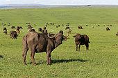 African Buffalo (Syncerus caffer) flock in the savannah, Masai Mara, Kenya