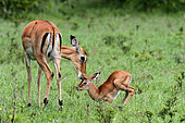 Impala (Aepyceros melampus) female and young, Masai Mara, France