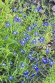 Lobelia pendulifolia 'Saphir'