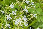 Laurentia axillaris 'Tristar Blanc'