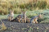 Chacal à chabraque (Canis mesomelas), jeunes au bord du terrier où ils se cachent, réserve nationale du Masai-Mara, Kenya