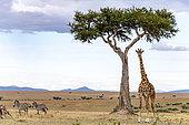 Masai Giraffe (Giraffa tippelskirchi) male in plain and zebra, Masai-Mara National Reserve, Kenya