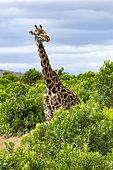 Masai Giraffe (Giraffa camelopardalis tippelskirchi), female, Masai-Mara National Reserve, Kenya