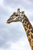 Masai Giraffe (Giraffa tippelskirchi), portrait, Masai-Mara National Reserve, Kenya