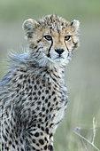 Cheetah (Acinonyx jubatus), 4/5 months old, Masai-Mara National Reserve, Kenya