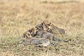 Cheetah (Acinonyx jubatus), female cleaning her cubs, Masai-Mara Game Reserve, Kenya