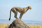 Cheetah (Acinonyx jubatus), female foraging for prey in the plains, Masai-Mara National Reserve, Kenya