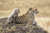 Cheetah (Acinonyx jubatus), female and 8 weeks old, Masai-Mara National Reserve, Kenya