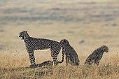 Cheetah (Acinonyx jubatus), female and youngat sunrise, Masai-Mara National Reserve, Kenya