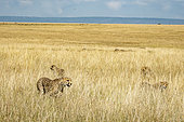 Cheetah (Acinonyx jubatus), female and young moving in tall grass in the dry season, Masai-Mara National Reserve, Kenya