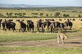 Cheetah (Acinonyx jubatus), observed by wildebeest, Masai-Mara National Reserve, Kenya