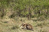 Cheetah (Acinonyx jubatus), female suffocating an impala, Masai-Mara National Reserve, Kenya