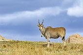 Eland (Taurotragus oryx), male, Masai-Mara Reserve, Kenya