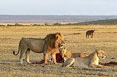 Llion (Panthera leo), male and female eating, watched by spotted hyenas, Masai-Mara Reserve, Kenya