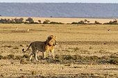 Lion (Panthera leo), male in the plains, Masai-Mara Reserve, Kenya