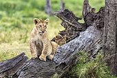 Lion (Panthera leo), lion cub on a dead tree, Masai-Mara Reserve, Kenya