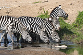 Grant's zebra (Equus burchelli granti), group drinking, Masai-Mara game reserve, Kenya