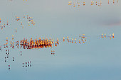 lesser flamingoes (Phoeniconaias minor), in courtship display, aerial wiew, lake Magadi, Kenya
