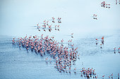 lesser flamingoes (Phoeniconaias minor), beginning a courtship display, aerial wiew, lake Magadi, Kenya