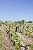 """Merlot grape vines, Saint Emilion, inscribed in 1999 by UNESCO World Heritage of Humanity as """"cultural landscape"""", France"""