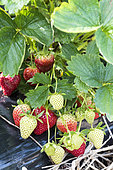Strawberries 'Daroyale', spring, Pas de Calais, France