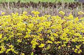Euphorbia amygdaloides 'purpurea', spring, Pas de Calais, France
