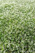 Euphorbia 'Diamond frost', printemps, Pas de Calais, France