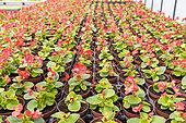 Begonia 'Flamboyant' in a greenhouse, spring, Pas de Calais, France