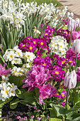 Flowerbed of tulips, primroses and narcissus in a garden, Spring, Pas de Calais, France