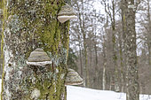 Tinder fungus (Fomes fomentarius) on a trunk of beech, Vosges, France